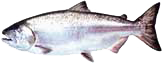 salmon-chinook