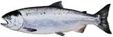 salmon-coho